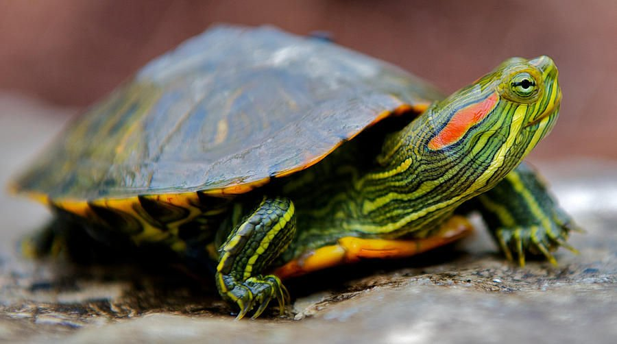 Montana Turtles To Be Collected For Texas Release State