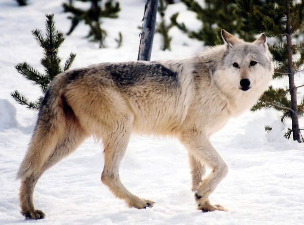 Montana's Diane Boyd: The Jane Goodall of wolves | State & Regional