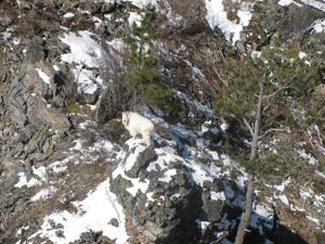 Falling goat numbers prompt end of hunting season on reservation