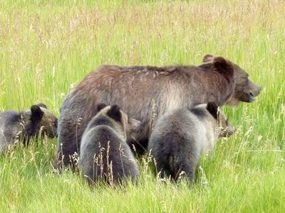 National Elk Refuge grizzly bears