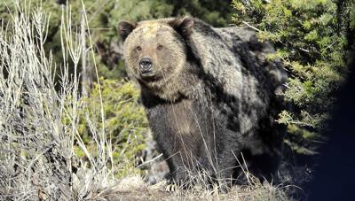 Grizzly bear file