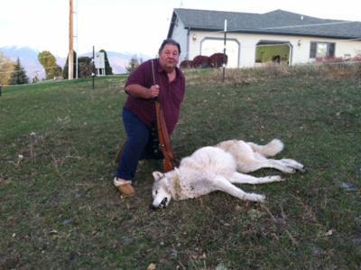 Wolf-dog hybrid shot