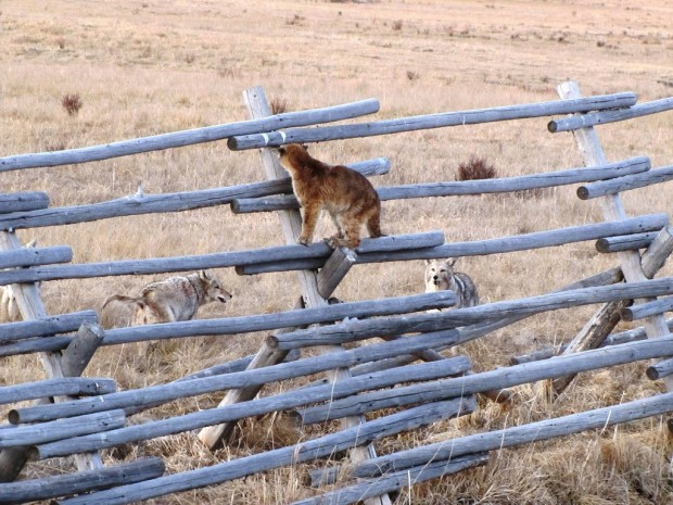 One of the cougar cubs watches