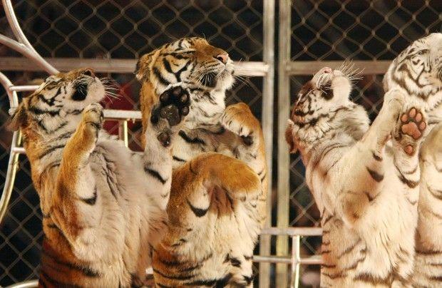 Wild animal acts