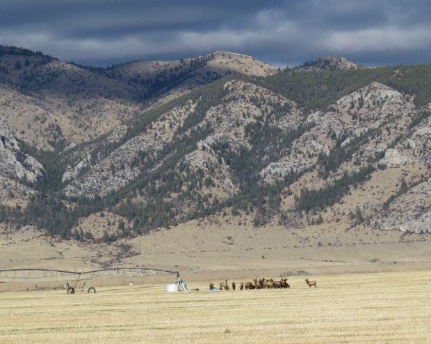 Elk near White Gulch
