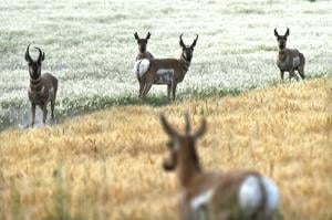 Fewer pronghorn hunters means lower harvest opening weekend