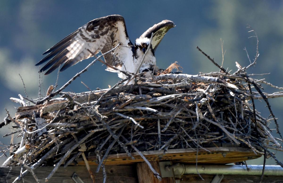 071918 osprey chick2 kw.jpg