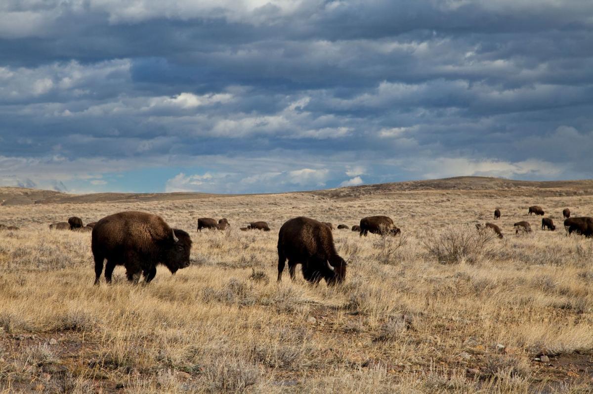 APR bison