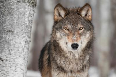 Grey Wolf (Canis lupus) stockimage
