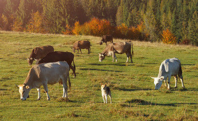 Livestock cattle guard dog