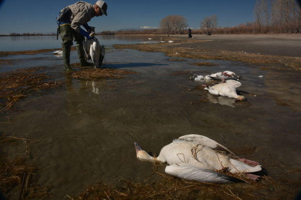 Poison and disease suspected in idaho snow geese die off for Idaho department of fish and game