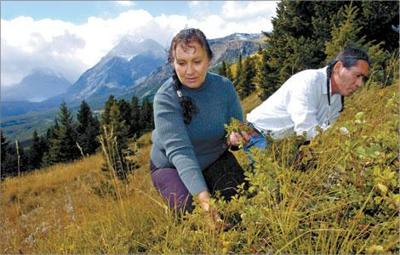 Creator's gift -Blackfeet woman extracts healing power from plants using traditional practices