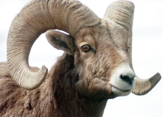 bighorn sheep stockimage