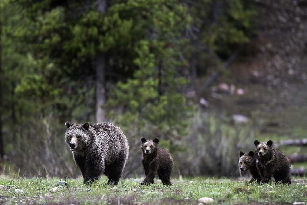 daryl hunter grizzly (IR copy)