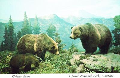 Grizzly bears in Glacier