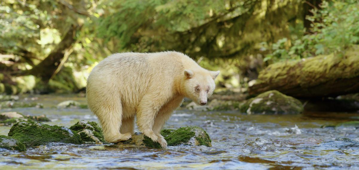 'Great Bear Rainforest'