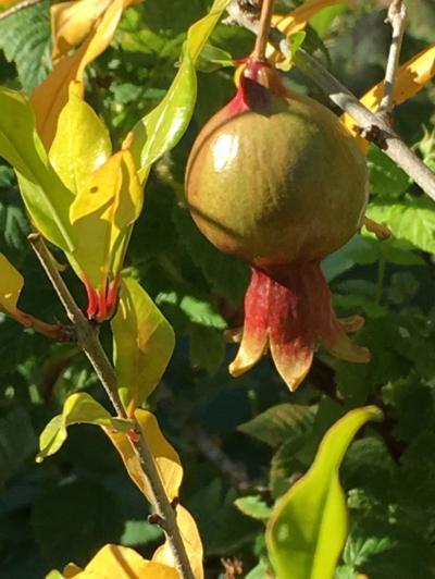 Montana Pomegranate