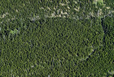 The lodgepole pine is the poster child of Yellowstone's plant recovery