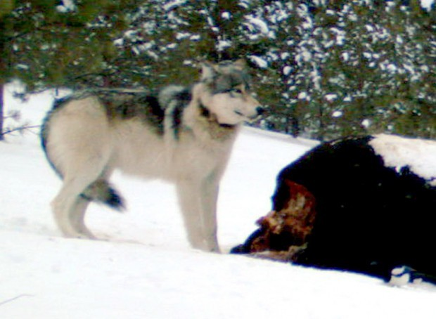 032911 rimel wolf web.jpg