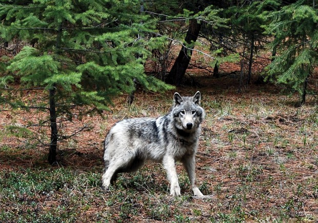 wolf hybrids and wolfdogs in the