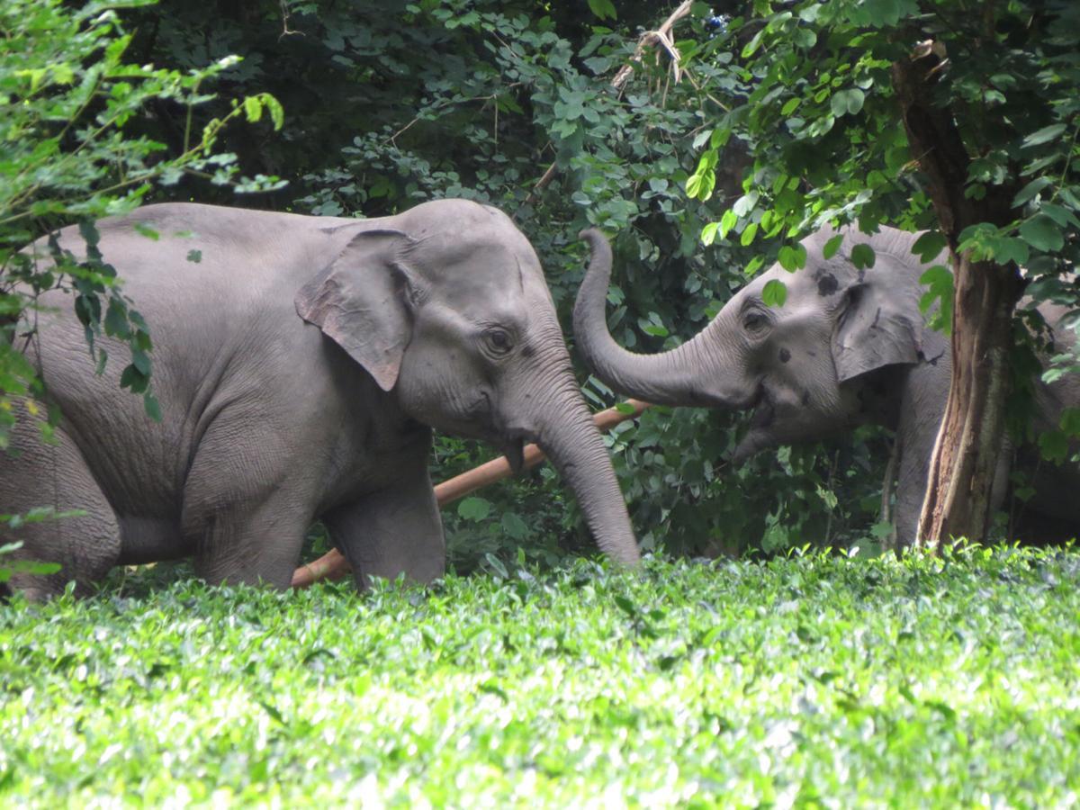 Elephant-friendly tea
