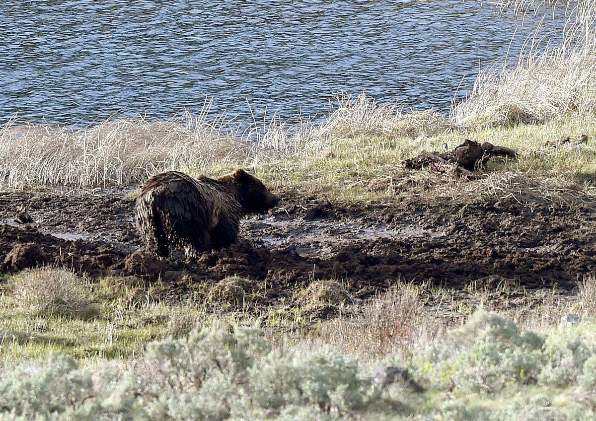 Grizzly wallow
