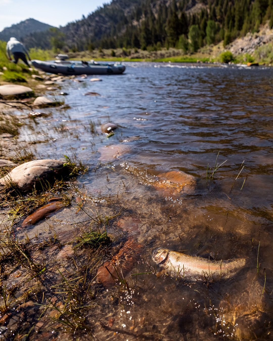 Dead trout on the Big Hole