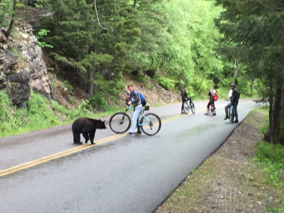 5bd9fe6d600 A biker on the Going to the Sun Road photographs a black bear as other  riders back away during a May ride in Glacier National Park.