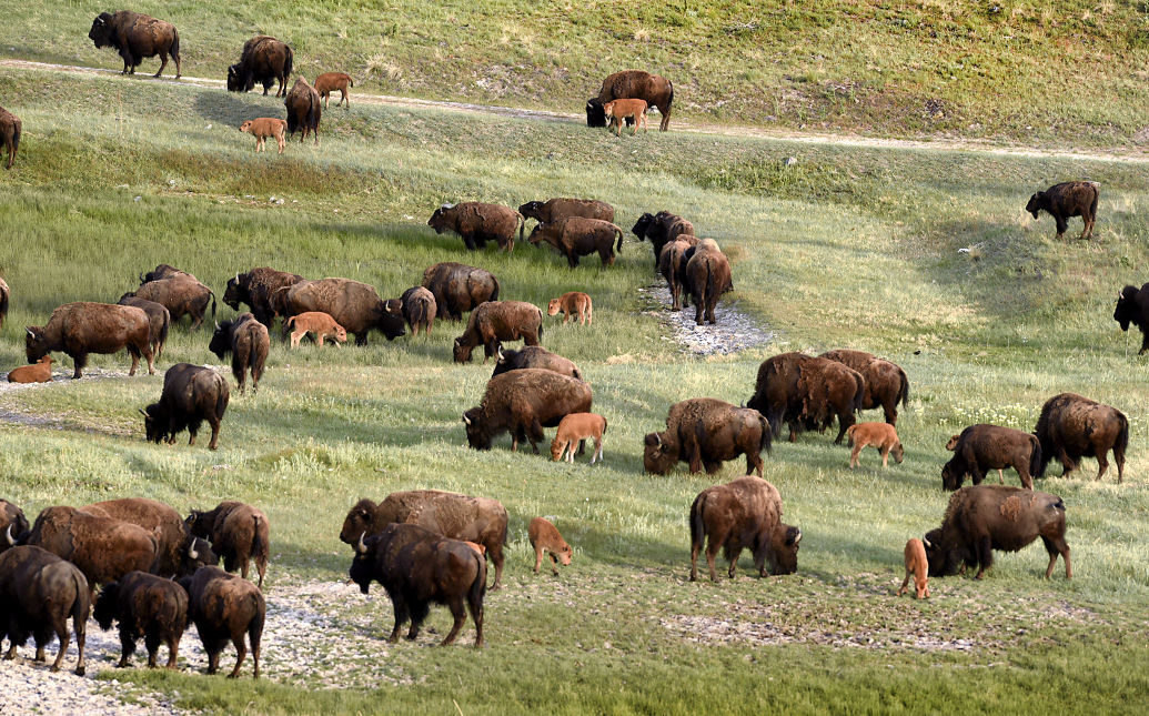 Bison calves browse on range near Ravalli