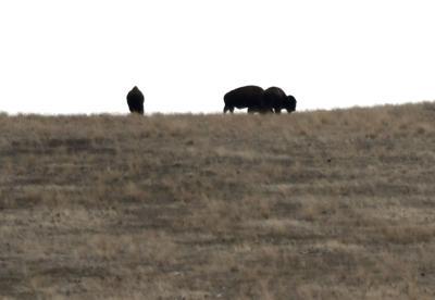 Bison Range 3 (copy)