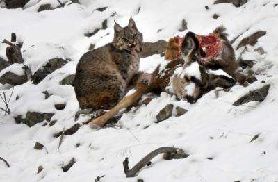 021319 bobcat on deer kw.jpg