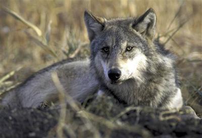 111511 gray wolf