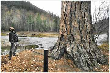 Standing tall: Plan in works to stabilize third-largest ponderosa in U.S.