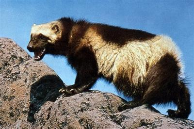 Wolverine Trapping