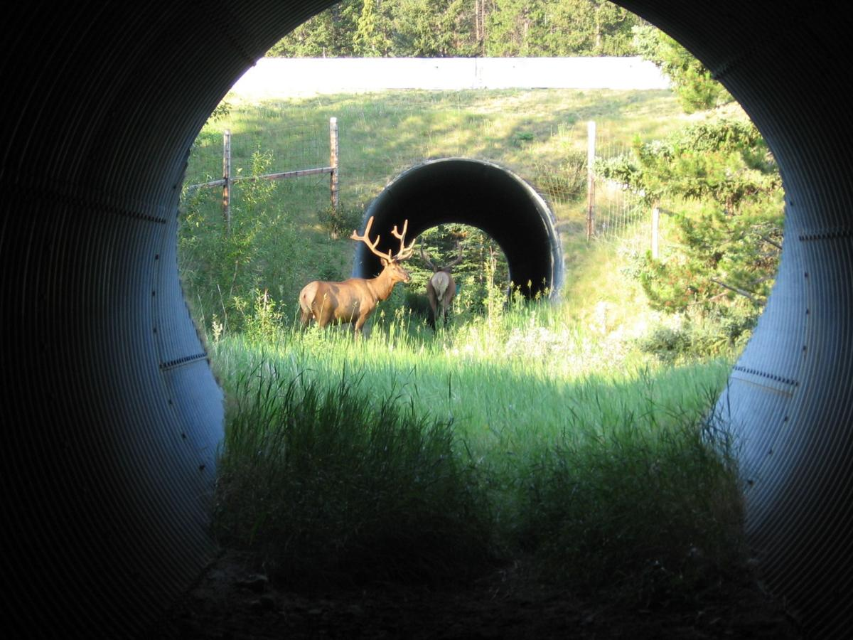 Elk in Banff underpass