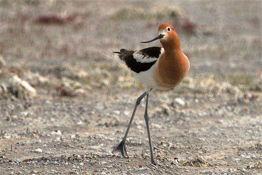 Montana refuge a haven for migratory and grassland birds (copy)