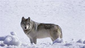 Wolf shot in northeastern Montana for first time in years