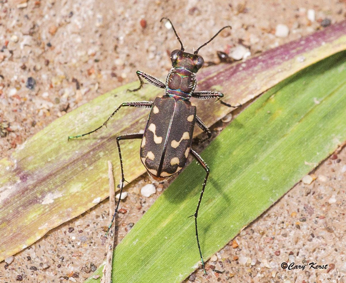031016-mis-out-tiger-beetle