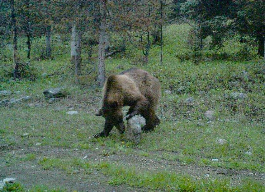 White Sulphur grizzly