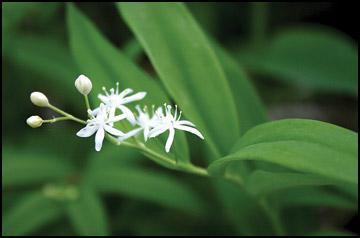 Wildflower Walks - Wild lily-of-the-valleySmilacina stellata