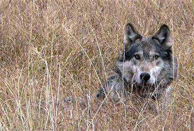 Wolves in Missoula County