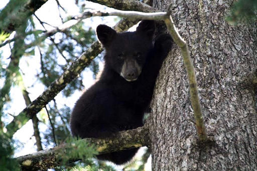 Montana Fish Wildlife and Parks killed a black bear near Bull Lake earlier this week after it ripped through a tent. & Black bear killed after tearing through tent | Local | missoulian.com