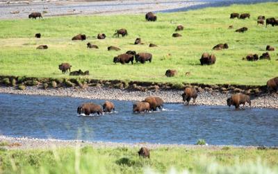 A bison herd crosses the Lamar River