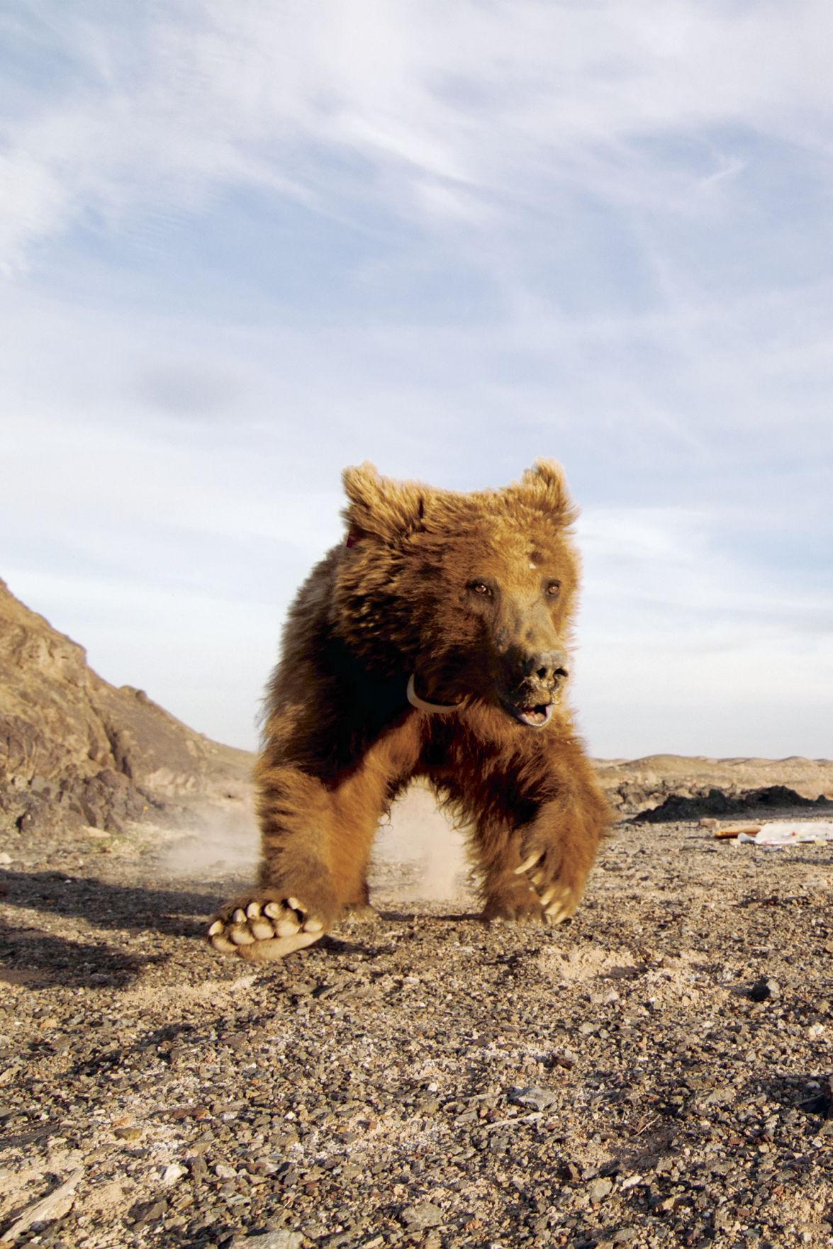 Gobi Bears 1