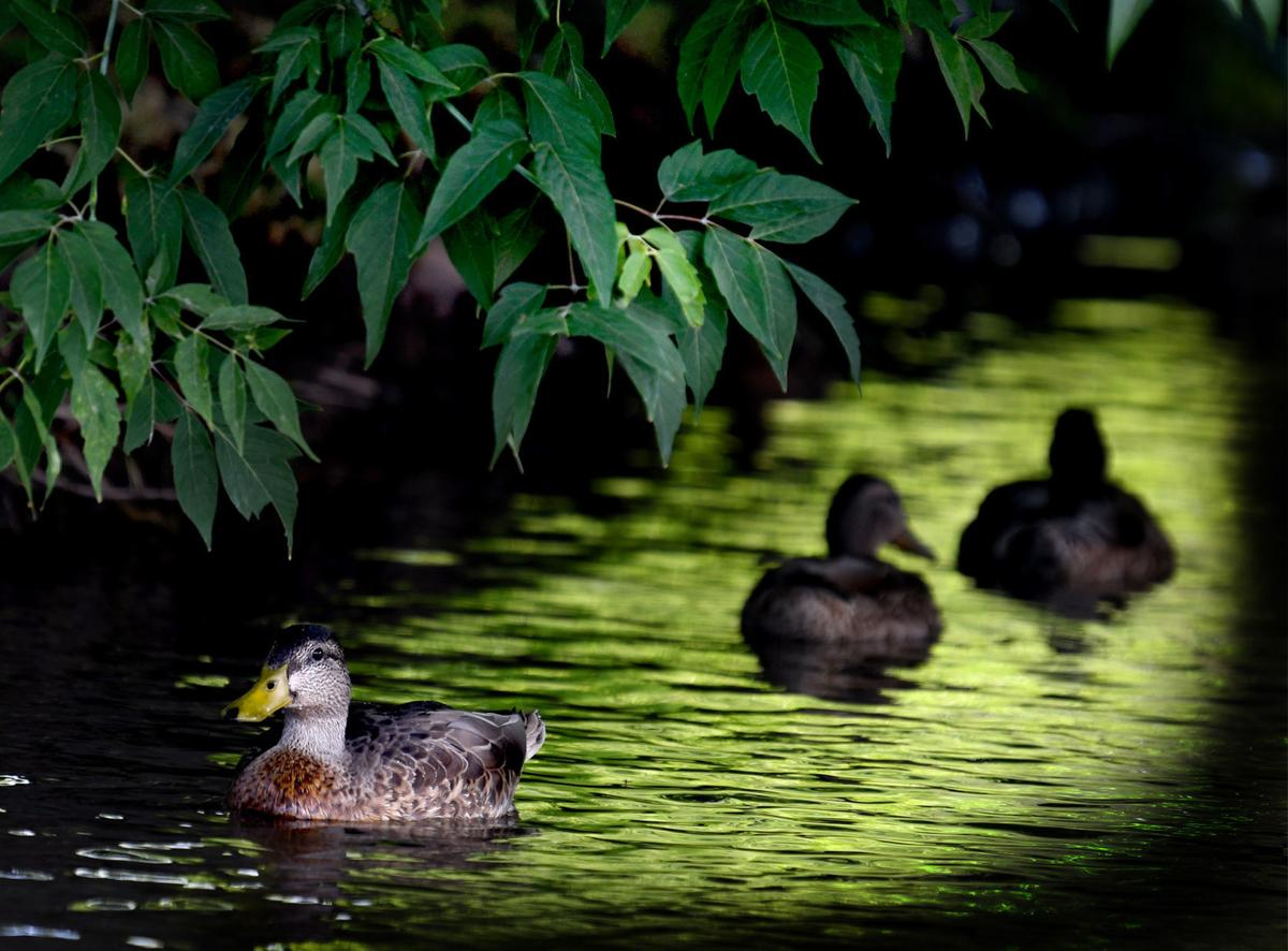 081018 duck feature .jpg