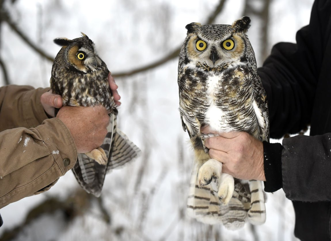 Owl Research Institute Takes Long Look At Long Eared Species Local News Missoulian Com