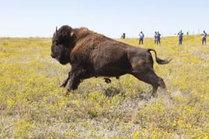 FWP releases final environmental impact statement on bison restoration on Montana's public lands