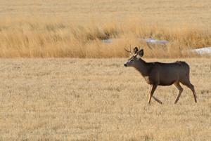 Chronic wasting disease confirmed in deer killed south of Yellowstone National Park
