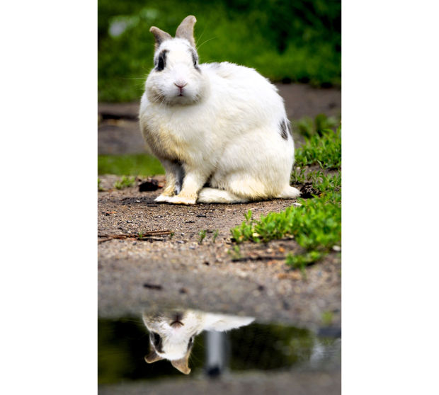 Image of: Lion 052913 Rabbit Feat Kw Webjpg Sciencenordic Um Scientist Coauthors Study On How Wild Animals Are Domesticated