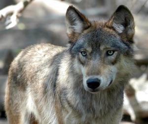 Colorado initiative would OK reintroducing the gray wolf